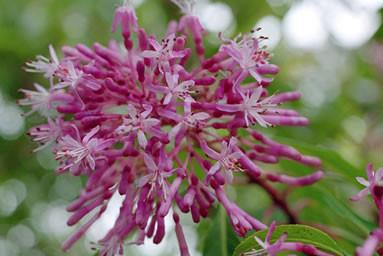Fuchsia paniculata 3.jpg