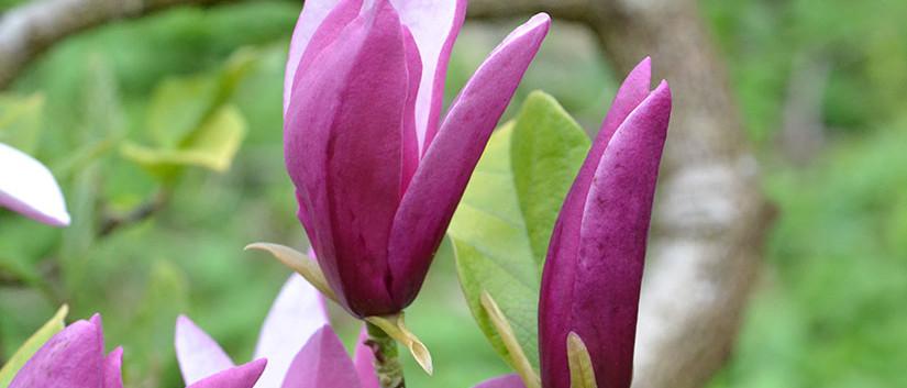 Magnolia liliiflora 3.jpg