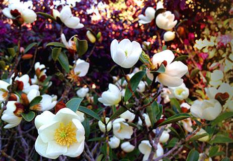 Magnolia laevifolia 1.jpg