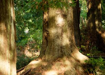 Sequoia sempervirens 4.jpg