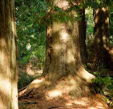 Sequoia sempervirens 4.jpg