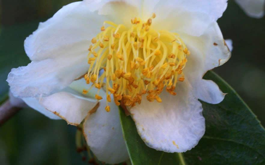 Camellia sinensis 3.jpg