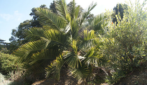 Jubaea chilensis 1.jpg
