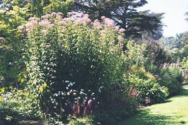 Eupatorium purpureum 3.jpg