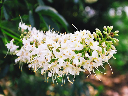 Aesculus californica 1.jpg