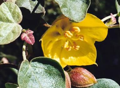 Fremontodendron californicum 3.jpg