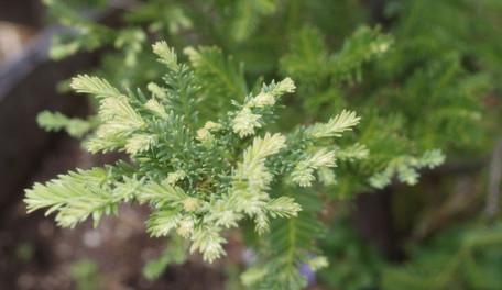 Sequoia sempervirens 3.jpg