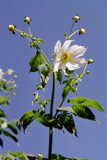 Dahlia spp. 2.jpg