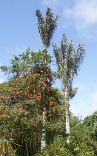 Passiflora parritae 4.jpg