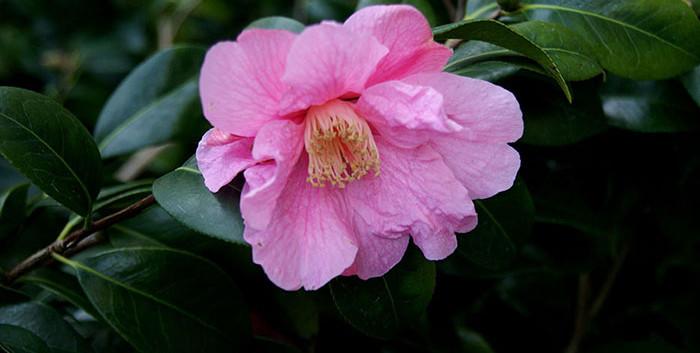Camellia spp. 2.jpg