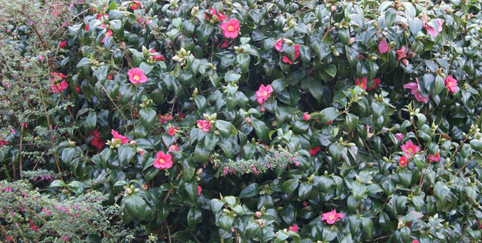 Camellia spp. 4.jpg