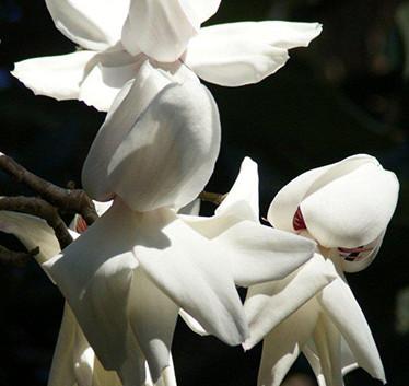 Magnolia campbellii 'Strybing White' 2.j