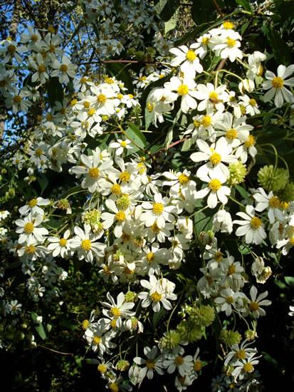 Montanoa spp. 3.jpg