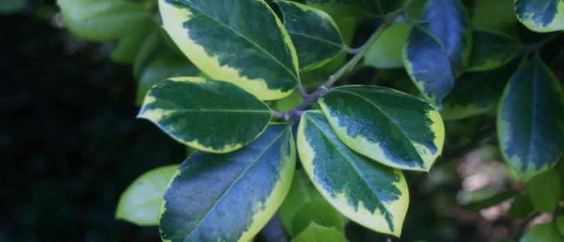 Ilex aquifolium 3.jpg