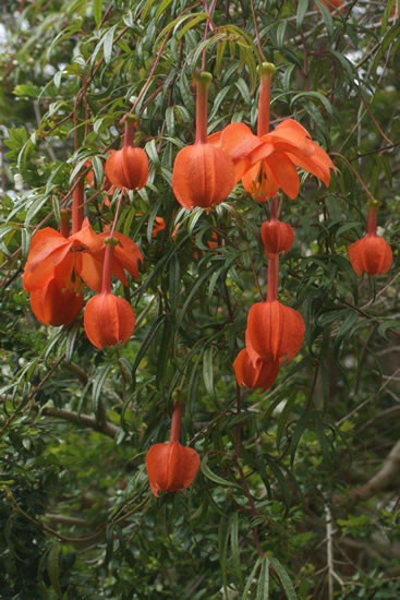 Passiflora parritae 2.jpg