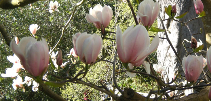 Magnolia x veitchii 3.jpg
