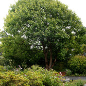 Liriodendron chinense
