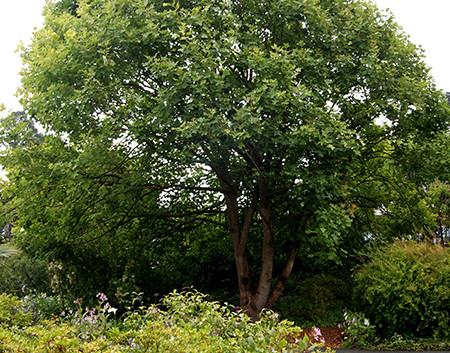 Liriodendron chinense 4.jpg