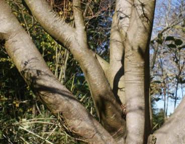 Acer palmatum 2.jpg
