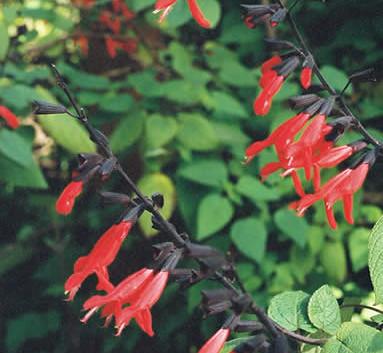 Salvia gesneraeflora 2.jpg