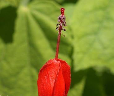 Malvaviscus arboreus 3.jpg