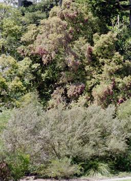 Syzygium smithii 3.jpg