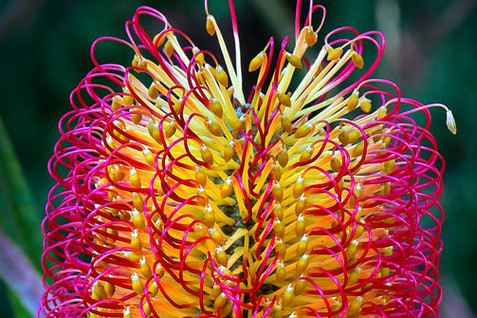 Banksia seminuda 1.jpg