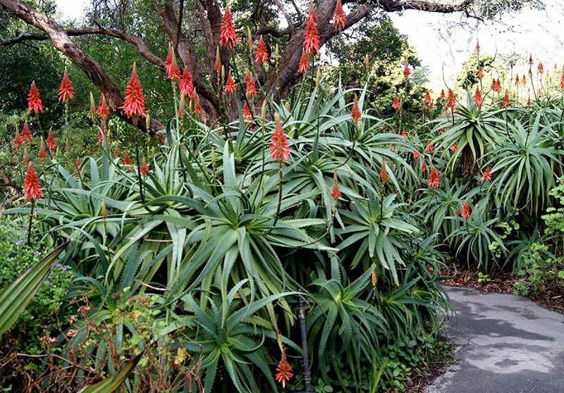 Aloe arborescens 4.jpg
