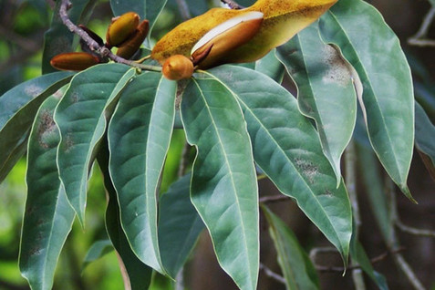 Magnolia doltsopa 4.jpg