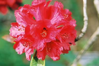 Rhododendron 1.jpg
