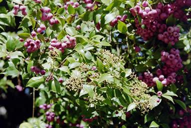 Syzygium smithii 2.jpg