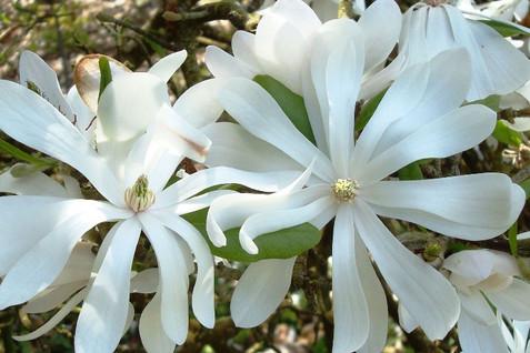 Magnolia stellata 1.jpg