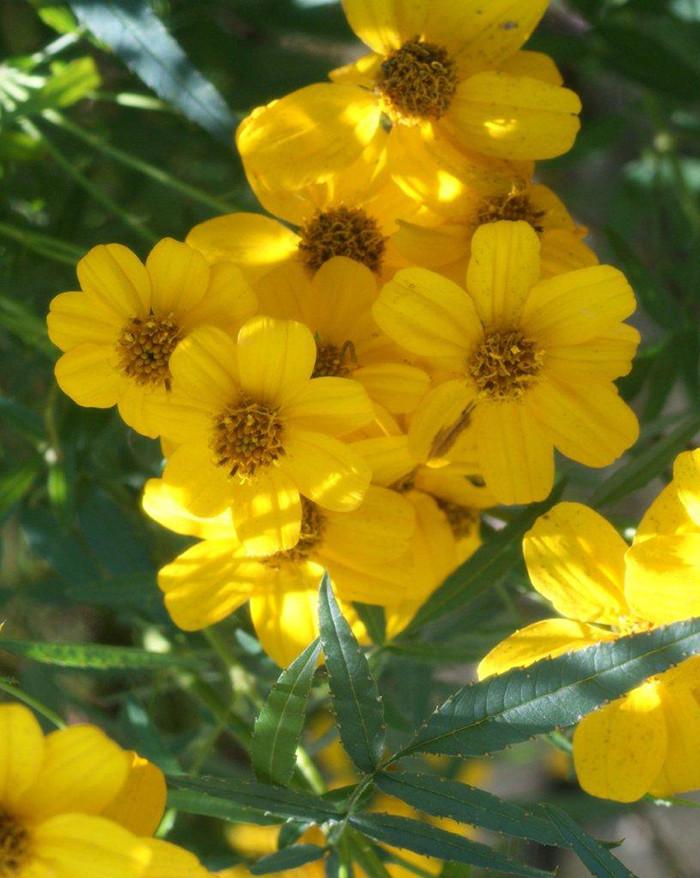 Tagetes Lemmonii 4.jpg