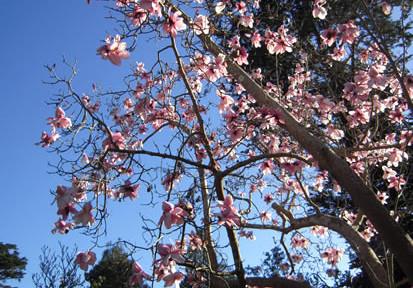 Magnolia campbellii 4.jpg