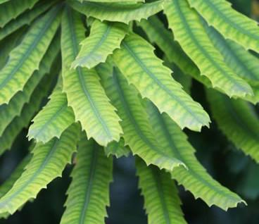Banksia seminuda 4.jpg