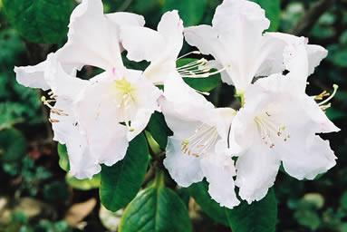 Rhododendron 3.jpg