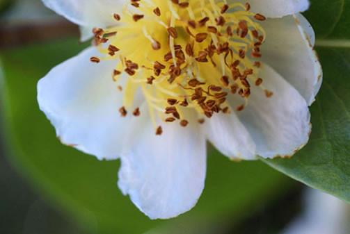 Camellia sinensis 1.jpg