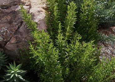 Rosmarinus sp. 3.jpg