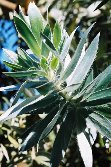 Leucadendron argenteum 1.jpg