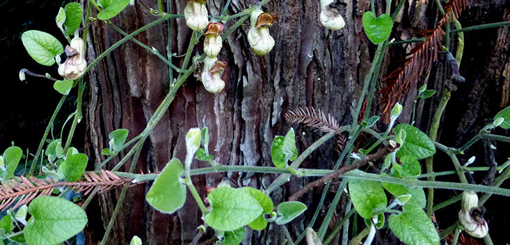 Aristolochia californica 4.jpg