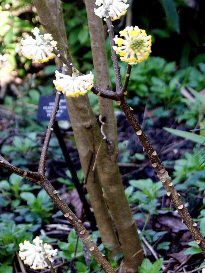 Edgeworthia chrysantha 4.jpg