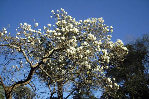 Magnolia denudata 4.jpg