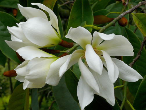 Magnolia doltsopa 1.jpg