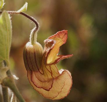 Aristolochia californica 2.jpg
