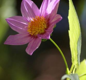 Dahlia spp. 4.jpg