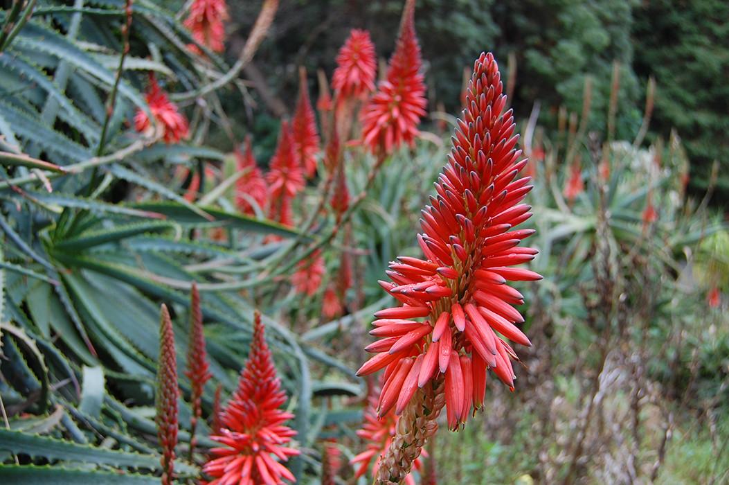 Aloe arborescens 1.jpg