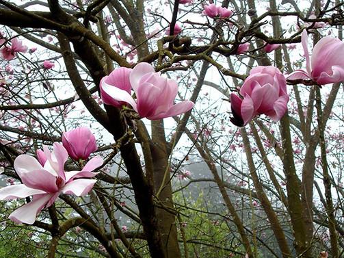 Magnolia dawsoniana 2.jpg