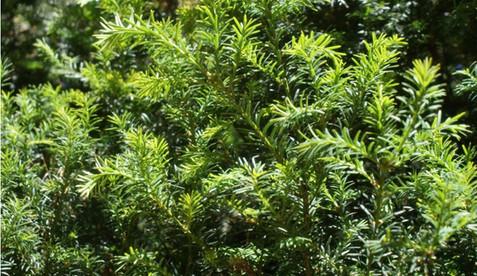Taxus baccata 2.jpg