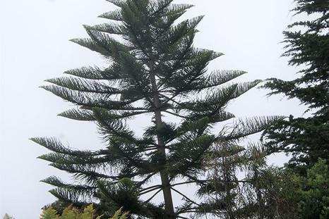 Araucaria heterophylla 4.jpg