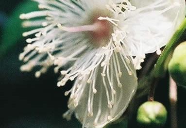 Luma apiculata 1.jpg
